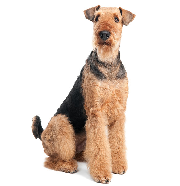 airedale terrier dog breed information and pictures airedale terrier breed information and