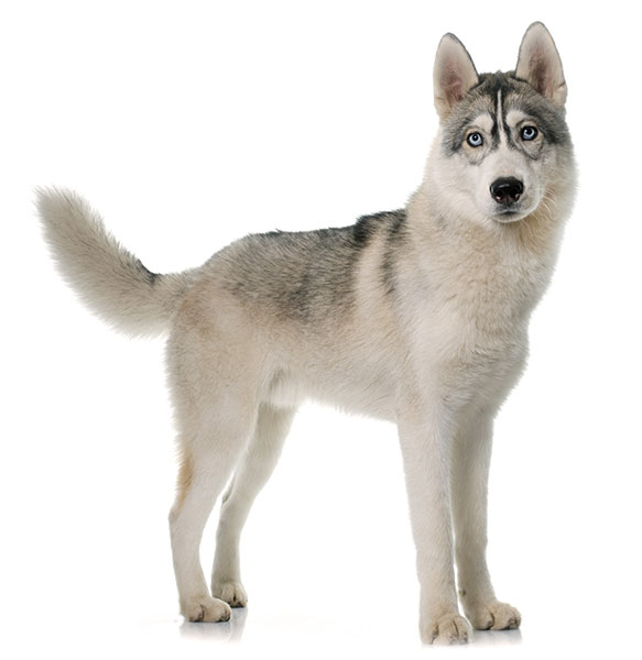 a characteristics of siberian husky Up for the challenge after viewing and reading the many personae of the siberian husky, if you can honestly say that you can't wait for the siberian challenge to begin, you are as crazy and stubborn as the rest of us siberian owners.
